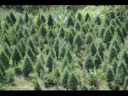 A Christmas tree farm in Penlyne Castle, St Thomas. AT LEFT:  Christmas tree farmer Alex Smith.